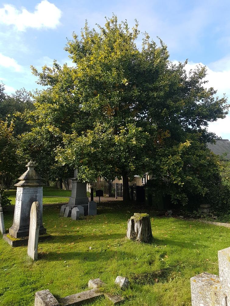 Fenstanton WI - oak tree in 2020